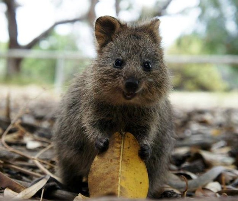 the-quokka